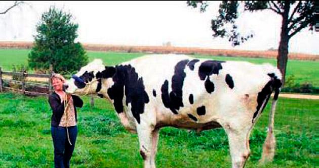 1.93'lük boyuyla en uzun inek