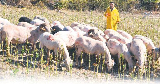 CHP'li koyunlar!
