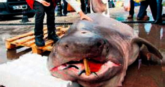 Marmara Denizi'nden köpek balığı çıktı!