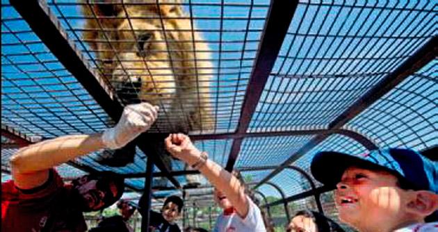 Çocuklar kafeste aslanlar serbest