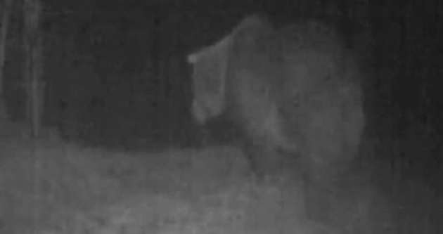 Ceset yiyen ayı tespit edildi