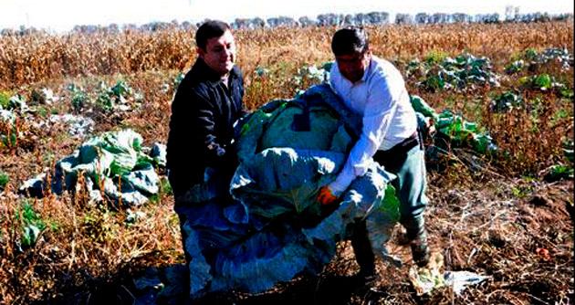 40 kiloluk lahanalar üreticiyi sevindirdi