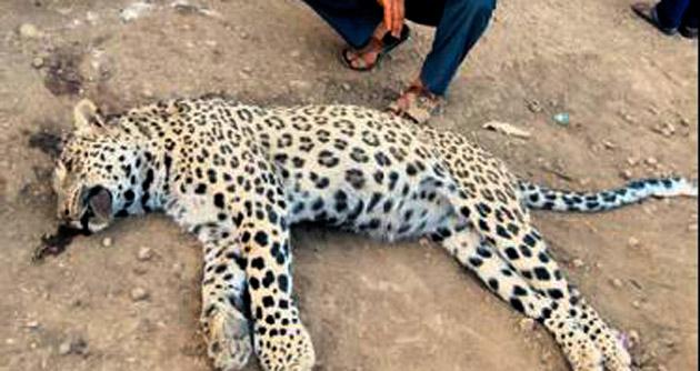 O leoparı daha önce de vurmuşlar