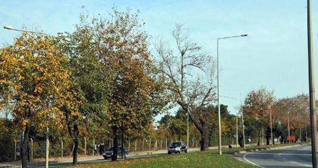 CHP'li belediye başkanı ağaçları kesecek !