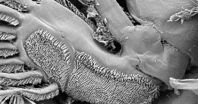 Türk bilimadamları yeni bir parazit türü buldu