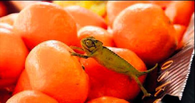 Meyve kasasından bukalemun çıktı