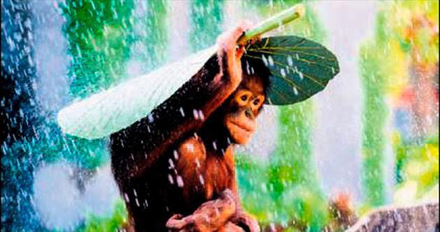 Orangutan yağmurdan yaprakla korundu
