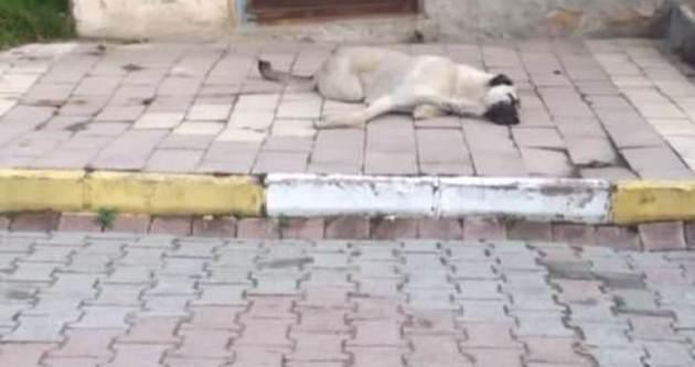 Köpekleri zehirleyip çöp arabasında presliyorlar