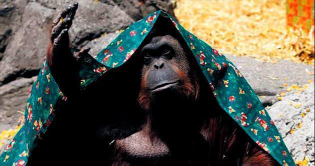Orangutan bir nesne değil, duygulu varlık