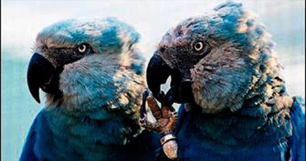 Nadir mavi papağan yavruları doğdu