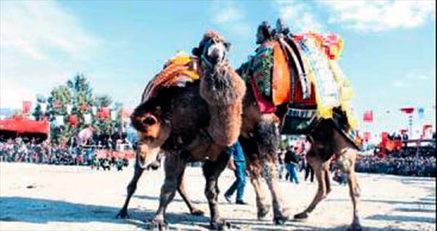 Demre'de develer eğitim için güreşti