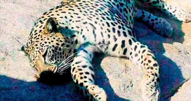 Mısır'ın son leoparını çobanlar öldürdü