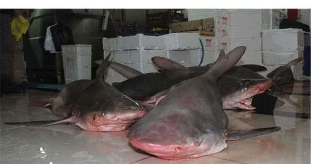Balıkçıların ağına 7 köpek balığı takıldı