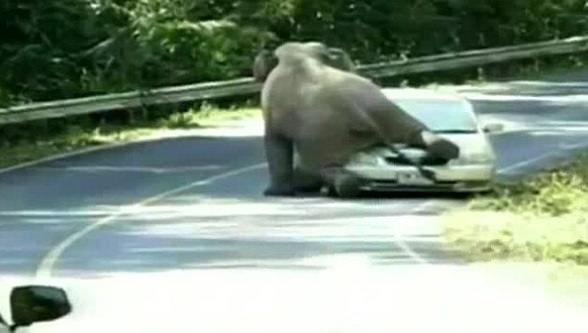 Tayland'da fil aracı böyle ezdi