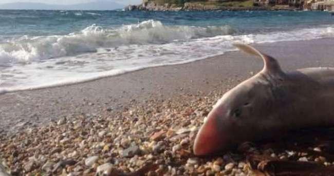 Bodrum'da köpek balığı paniği!