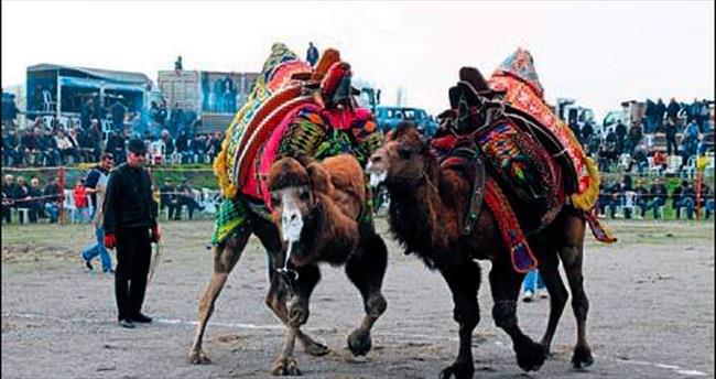 Burhaniye Arena'da deve güreşi coşkusu