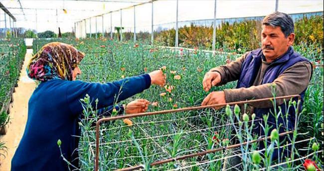 Yerli karanfiller ilk kez çiçek açtı