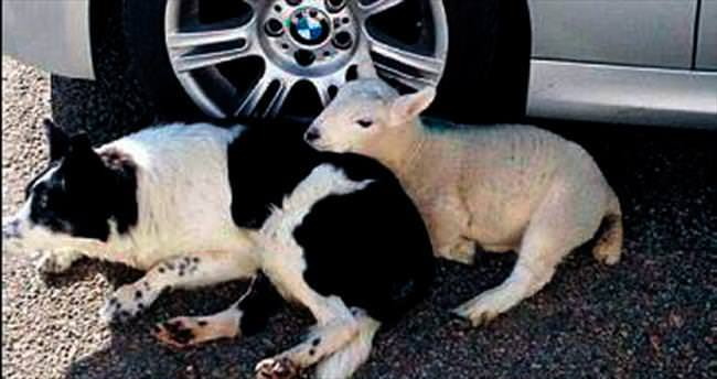 Kendini çoban köpeği sanıyor