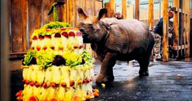 Gergedan Maruska'ya doğum günü pastası