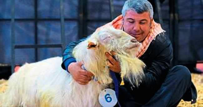 Koyun ve keçiler podyuma çıktı