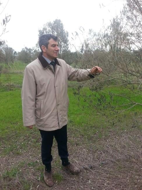 Burhaniye'de Don Zararı Gören Zeytinlikler Kontrol Ediliyor