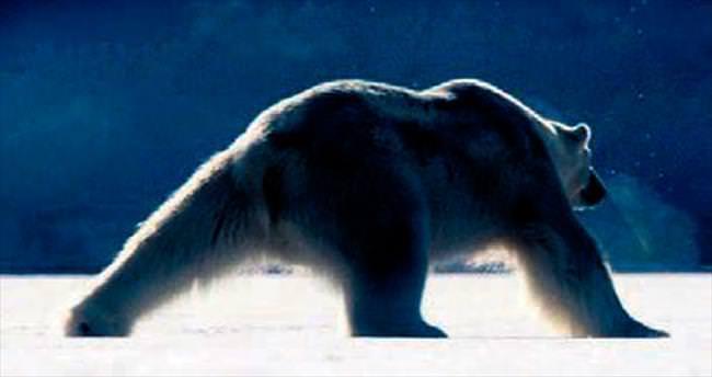Kutup ayısından buz üstünde dans