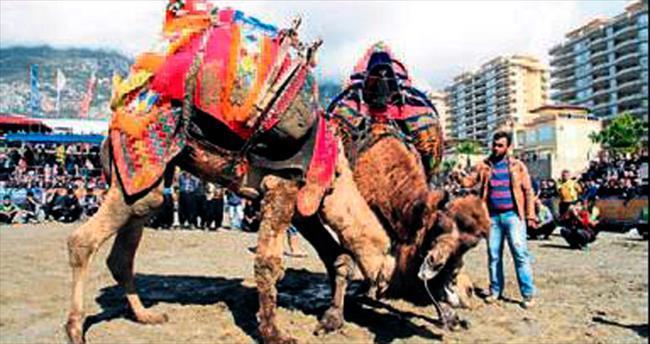 Alanya'da develer festivalde güreşti