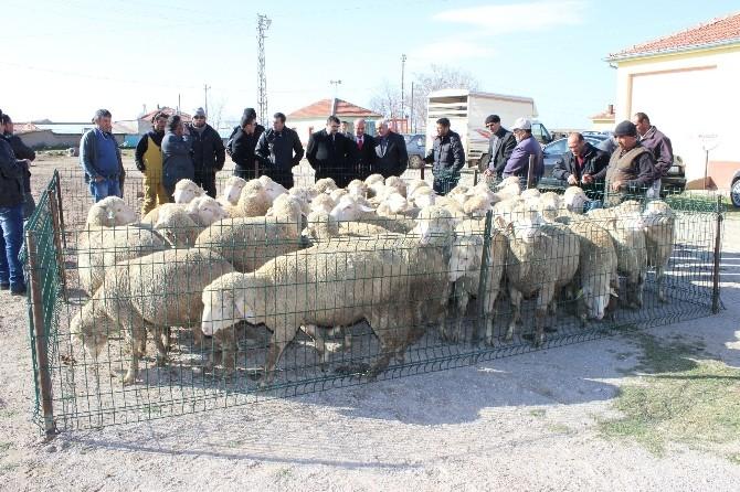 Karaman'da Damızlık Koç Dağıtımı