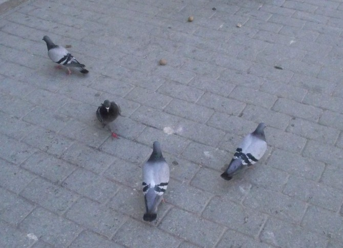 Güvercinlerin Cevizle Mücadelesi