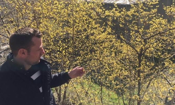 Koyulhisar'da Ağaçlar Çiçek Açtı