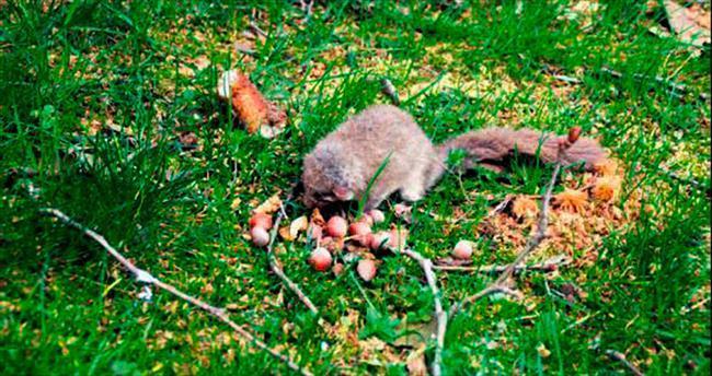 Kerestelik ağaçtan yavru sincaplar çıktı