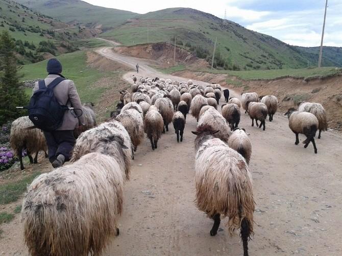 Çoban Değil Sürü Yönetimi Elemanı