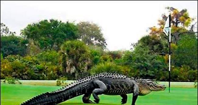 Golf sahasında davetsiz misafir