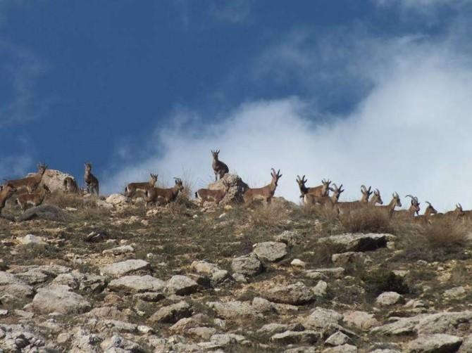 Tut İlçesinde Yaban Keçilerinin Sayısı Hızla Artıyor