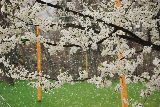 Çiçek Açan Bitkilere Kar Yağışına Karşı Damacanalı Koruma