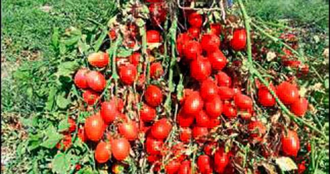 Sanayilik domates ürettiler