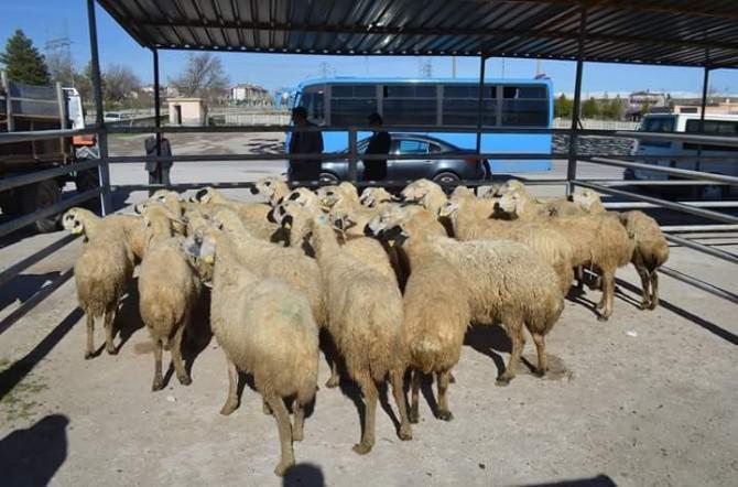 Sosyal Yardımlaşma Ve Dayanışma Vakfı Tarafından Bor'da 500 Koyun Ve 20 Koç Dağıtıldı