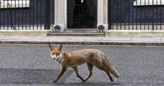 Başbakanlık'ta tilki alarmı