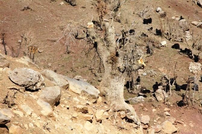 Van'daki Yabani Bıttımlar Fıstık Ağacına Dönüştürülüyor