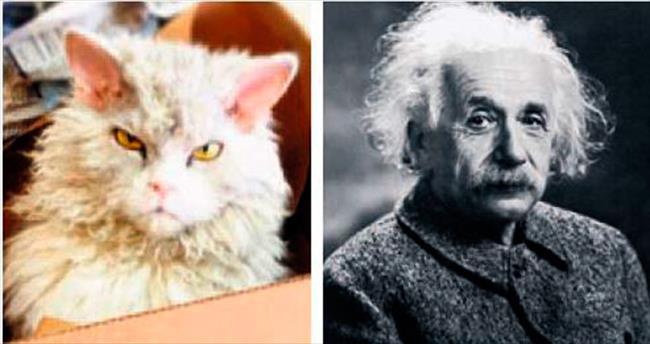Einstein'a benzeyen kibirli kedi Albert