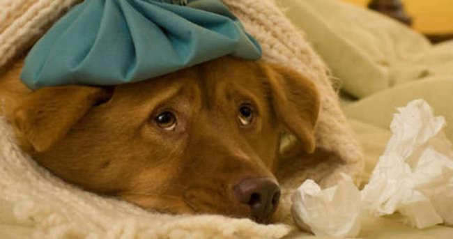 ABD'de köpek gribi alarmı