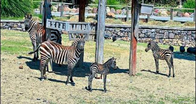 Doğal Yaşam Parkı zebralarla şenlendi
