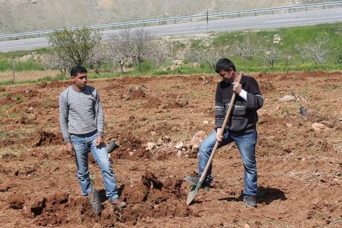 Siirtli Çiftçiler Bu Yıl Fıstık Rekoltesinden Umutlu