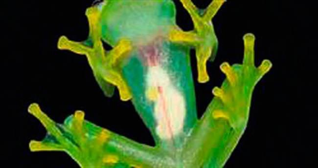 Yeni cam kurbağa türü keşfedildi