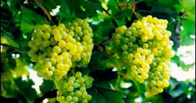 Çin üzüm bağında Fransa'yı solladı