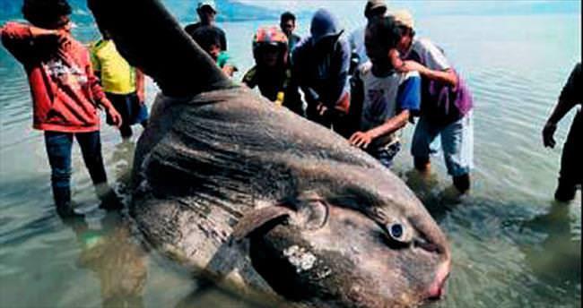 1.5 tonluk ay balığı balıkçı ağına takıldı