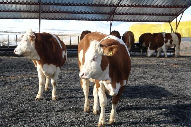 Hayvancılık İşletmelerine 26 Milyon TL Destekleme Ödemesi Yapıldı