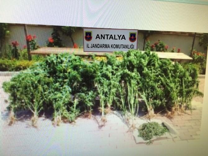 Antalya'da 120 Kök Kenevir Ele Geçirildi