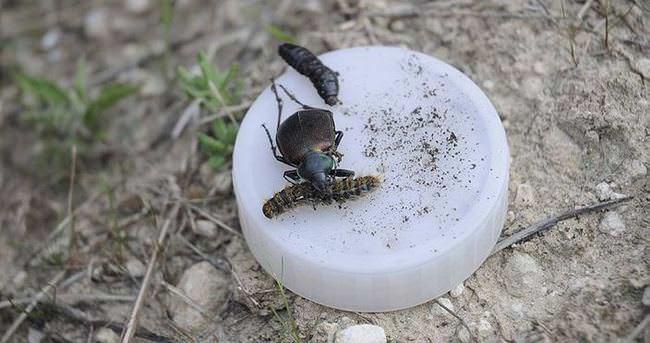 Ormanların yeni savaçısı: Terminatör böcekler
