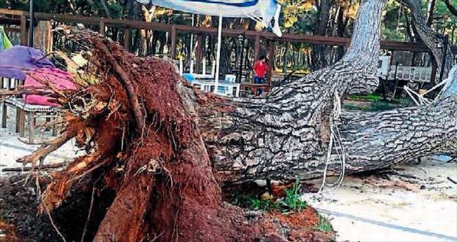 70 yıllık çam yıkıldı